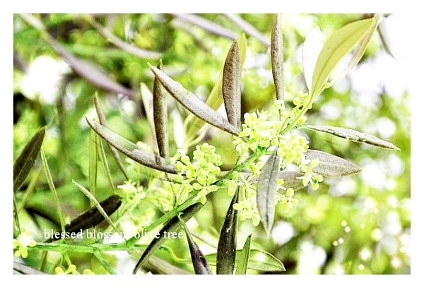 Blessed Olive Tree2