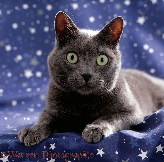 Domestic Cat {Felis catus} portrait of grey on starry material.