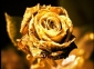 Magical-golden-rose